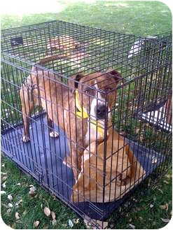 Pit Bull Terrier/Great Dane Mix Dog for adoption in Fowler, California - Tiger