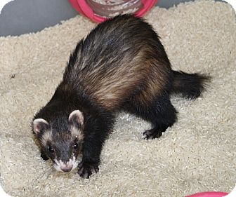 Ferret for adoption in Indianapolis, Indiana - Itsy