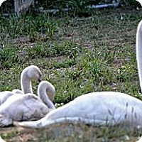 Adopt A Pet :: Swans a swimming... - Indian Trail, NC