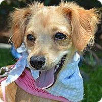Adopt A Pet :: Archie - Los Angeles, CA