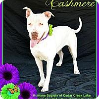 Adopt A Pet :: Cashmere - Plano, TX