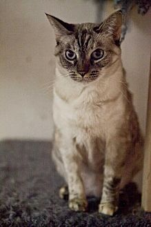 Domestic Shorthair Cat for adoption in Midway City, California - Jasmine