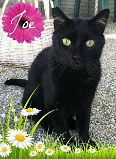 Domestic Shorthair Cat for adoption in Sherman Oaks, California - Joe