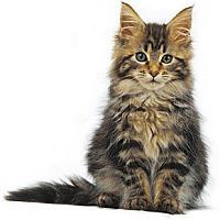 Adopt A Pet :: Bourbon- - Arlington, VA
