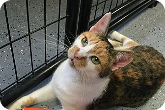 Calico Cat for adoption in Holland, Michigan - Amber