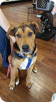 Shepherd (Unknown Type) Mix Dog for adoption in Northport, Alabama - Hunter