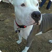 American Staffordshire Terrier Mix Dog for adoption in Lincoln, California - Cali