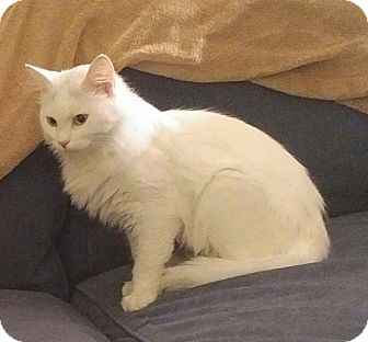Domestic Longhair Cat for adoption in Fairborn, Ohio - Snow