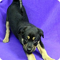 Adopt A Pet :: Kelly - Westminster, CO