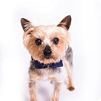 Adopt A Pet :: Toto - New Castle, PA