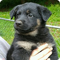 Adopt A Pet :: Cannon*ADOPTION PENDING* - Mill Creek, WA