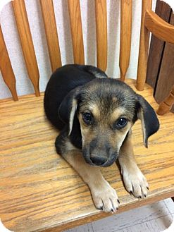 Shepherd (Unknown Type) Mix Puppy for adoption in Patterson, New York - Mocha 2