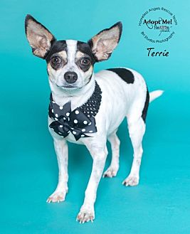 Rat Terrier/Terrier (Unknown Type, Small) Mix Dog for adoption in Houston, Texas - Terrie