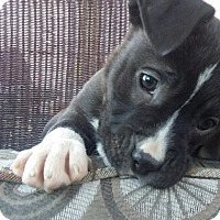 Adopt A Pet :: Tulip - Las Vegas, NV