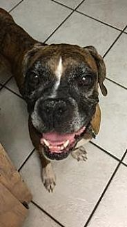 Boxer Dog for adoption in Plant City, Florida - Poppy
