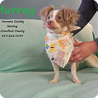 Chihuahua Mix Dog for adoption in Bucyrus, Ohio - Murray