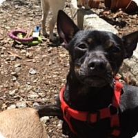 Adopt A Pet :: Chico 8 month Happy and Calm Boy! - Rowayton, CT