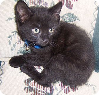 Domestic Shorthair Kitten for adoption in Gray, Tennessee - Gambit