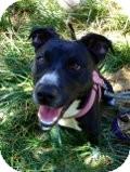 Labrador Retriever/Beagle Mix Dog for adoption in Burbank, California - Lauralea HOUSETRAINED, SMALL!