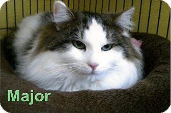 Domestic Longhair Cat for adoption in Medway, Massachusetts - Major