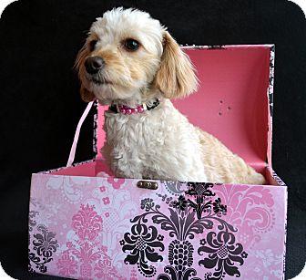Poodle (Miniature)/Maltese Mix Dog for adoption in Bridgeton, Missouri - McKenna-Adoption pending
