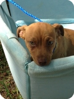 Dachshund/Chihuahua Mix Dog for adoption in Houston, Texas - Lucy