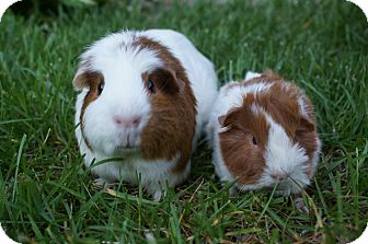 Guinea Pig for adoption in Brooklyn Park, Minnesota - Cadence & Abby