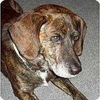 Adopt A Pet :: Bart - Rigaud, QC