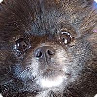 Adopt A Pet :: BLAZE - Hesperus, CO