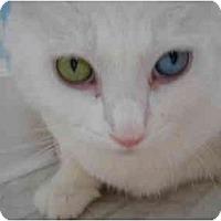 Adopt A Pet :: Snowball - Riverside, RI