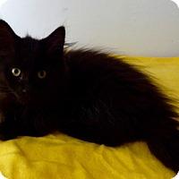 Adopt A Pet :: Sherpa - Colmar, PA