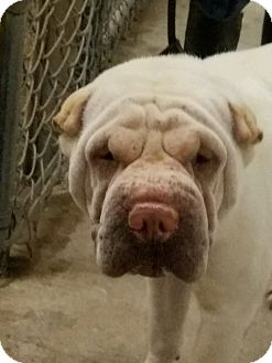 Shar Pei Dog for adoption in Houston, Texas - Chief