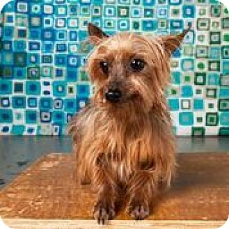 Yorkie, Yorkshire Terrier Dog for adoption in Statewide and National, Texas - Tiny