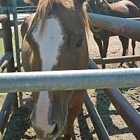 Quarterhorse Mix for adoption in Hitchcock, Texas - Jolene