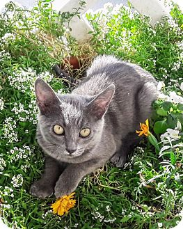 Russian Blue Kitten for adoption in St Helena, California - Dove