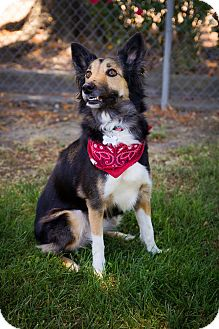 Border Collie Mix Dog for adoption in Corning, California - GRACIE