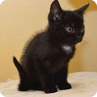 Domestic Shorthair Kitten for adoption in Eastsound, Washington - Star