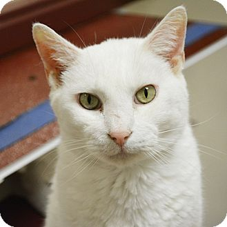 Domestic Shorthair Cat for adoption in Springfield, Illinois - Dover