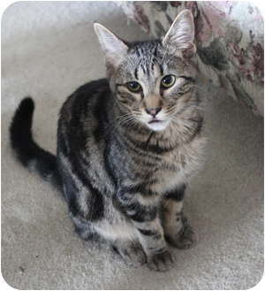 Domestic Shorthair Kitten for adoption in Duncan, British Columbia - Beetle