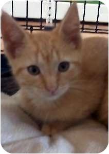 Domestic Shorthair Kitten for adoption in Jacksonville, Florida - Reese
