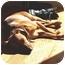 Photo 2 - Italian Greyhound/Chihuahua Mix Dog for adoption in Croton, New York - Oliver