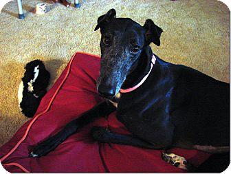 Greyhound Dog for adoption in Longwood, Florida - Bow Puddin
