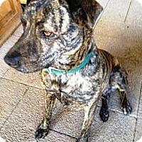 Adopt A Pet :: Bryn - Gilbert, AZ