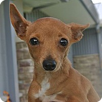 Adopt A Pet :: Buttercup - white settlment, TX