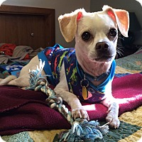 Adopt A Pet :: ChiChi - North Olmsted, OH