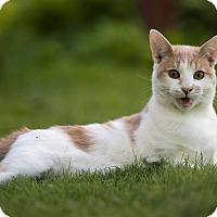 Adopt A Pet :: Cream Puff - Owatonna, MN