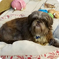 Brussels Griffon/Lhasa Apso Mix Dog for adoption in Charlotte, North Carolina - JESSIE - FOR SPECIAL E