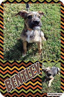 Schnauzer (Miniature) Mix Dog for adoption in Lexington, North Carolina - Bentley