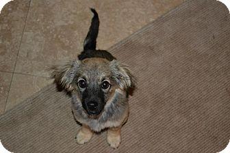 Spaniel (Unknown Type)/German Shepherd Dog Mix Puppy for adoption in Torrance, California - TYLER