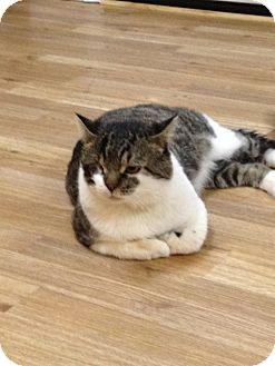 Domestic Shorthair Cat for adoption in Monroe, Georgia - Homer